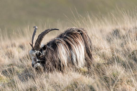 image of a wild cheviot goat above the Rowhope Burn