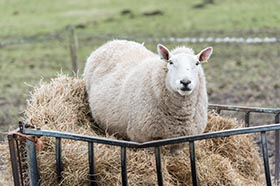 image of a Cheviot Sheep eating amongst a hey bale