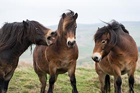 image of three Exmoor ponies with one laughing at the other two