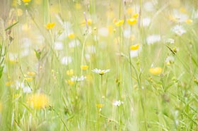 image of a wildflower meadow at Greenhaugh in Northumberland