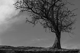 image of a hawthorn tree aganst a dramatic sky in black and white