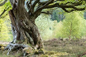 image of an old Beech Tree in Holystone Woods with fresh spring leaves