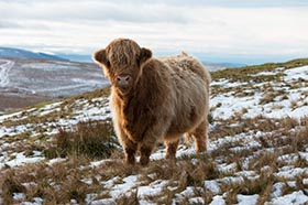 image of a Highland Cow on a cold late winter's afternoon in snowy conditions