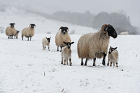 image of lambs and their mothers making their way through a snow shower at Hepple